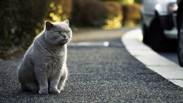 10 Large Cat Breeds in the World 4