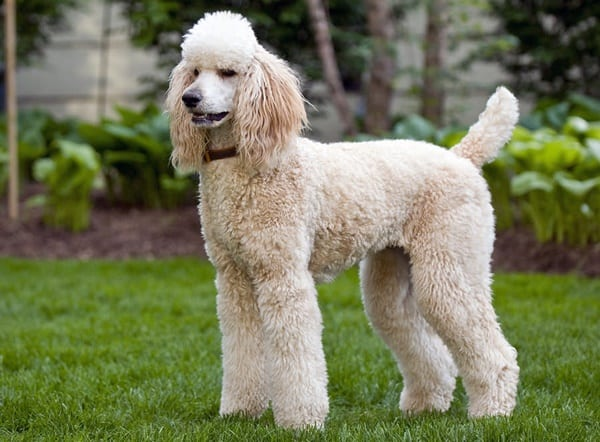10 List of Hypoallergenic Dog Breeds 1
