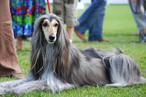 10 List of Hypoallergenic Dog Breeds 10