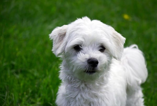 10 List Of Hypoallergenic Dog Breeds Tail And Fur