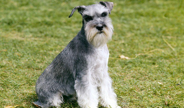 10 List of Hypoallergenic Dog Breeds 4
