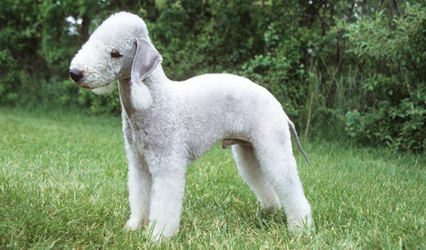 10 List of Hypoallergenic Dog Breeds 8