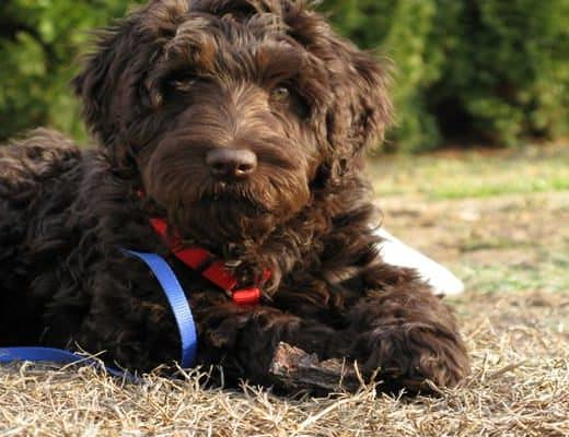 10 List of Hypoallergenic Dog Breeds Feature Image