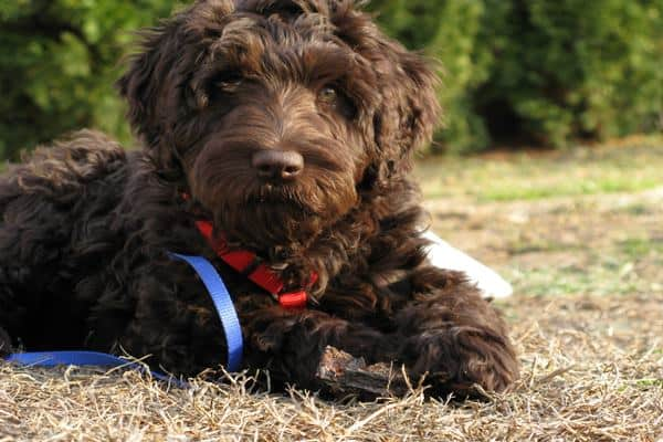 Best Small Dog Breeds Hypoallergenic