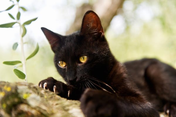 10 Popular Superstitions about Black Cats 4