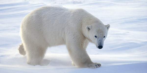 20 Polar Bear Facts and Information for Kids - Tail and Fur