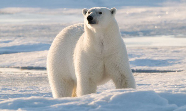 20 Polar Bear Facts and Information for Kids 3