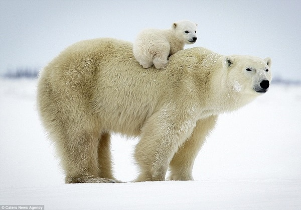 20 polar bear facts and information for kids tail and fur