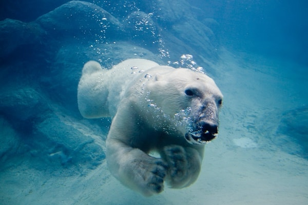20 Polar Bear Facts and Information for Kids 5