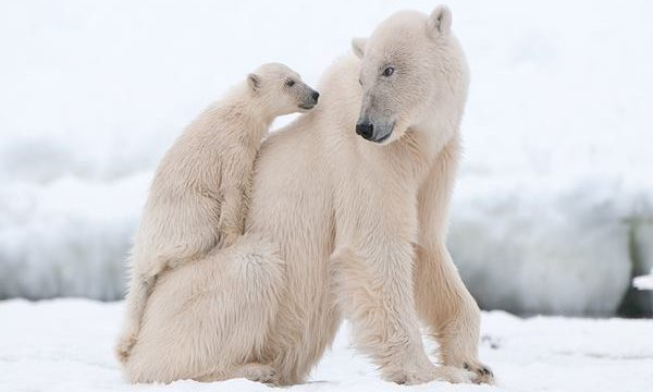 20 Polar Bear Facts and Information for Kids Feature Image