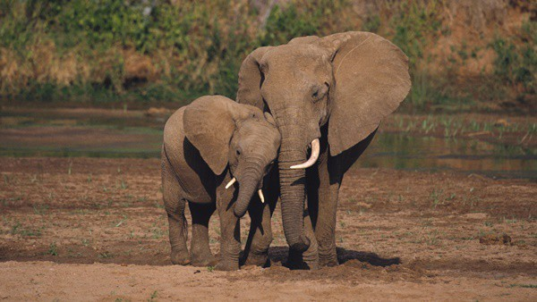 40 Outstanding Pictures of African Elephants 13