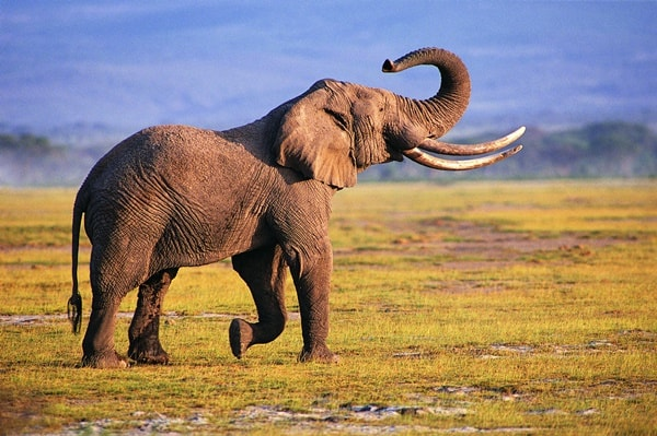 40 Outstanding Pictures of African Elephants 16