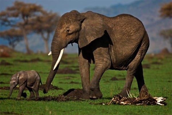 40 Outstanding Pictures of African Elephants 17