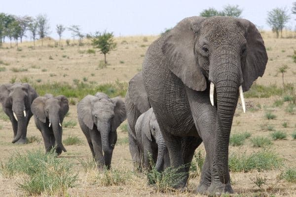 40 Outstanding Pictures of African Elephants 2