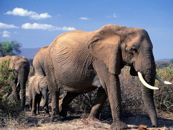 40 Outstanding Pictures of African Elephants 22