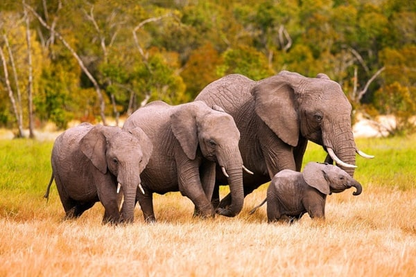 40 Outstanding Pictures of African Elephants 27