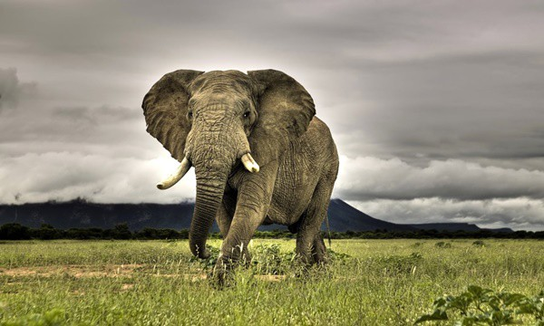 40 Outstanding Pictures of African Elephants 3