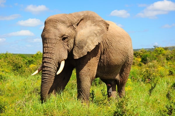 40 Outstanding Pictures of African Elephants 30