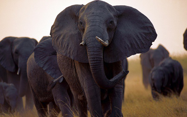 40 Outstanding Pictures of African Elephants 31