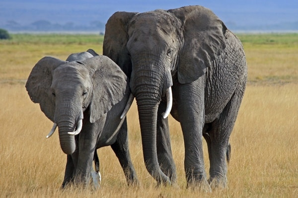 40 Outstanding Pictures of African Elephants 33