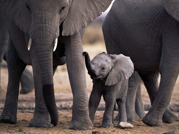 40 Outstanding Pictures of African Elephants 38