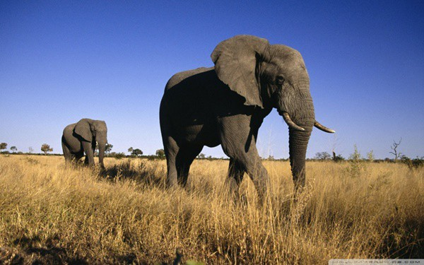 40 Outstanding Pictures of African Elephants 6