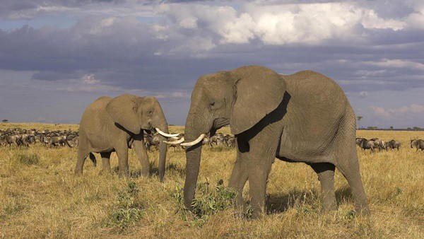 40 Outstanding Pictures of African Elephants 8