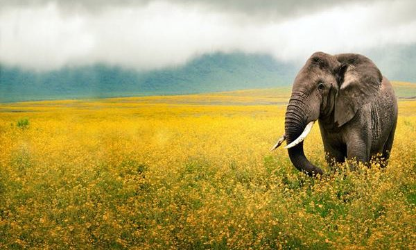 40 Outstanding Pictures of African Elephants Feature Image