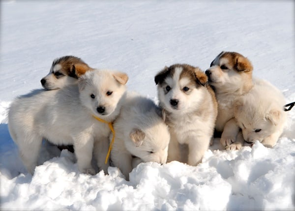 40 Siberian Husky Puppy Pictures to give Watery Eyes 17