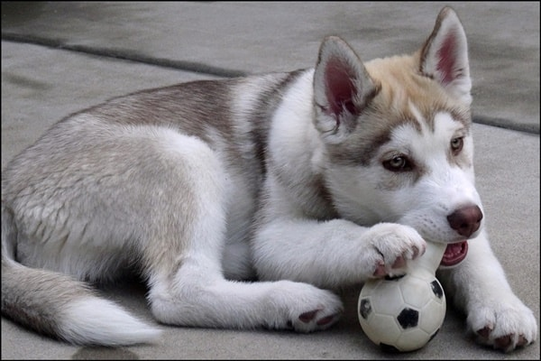 40 Siberian Husky Puppy Pictures to give Watery Eyes 18