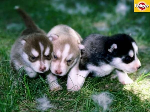 40 Siberian Husky Puppy Pictures to give Watery Eyes 28