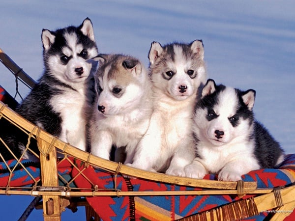 40 Siberian Husky Puppy Pictures to give Watery Eyes 30
