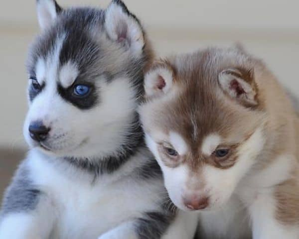 40 Siberian Husky Puppy Pictures to give Watery Eyes 31