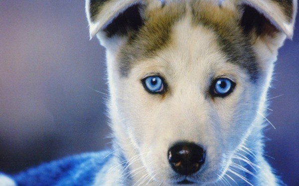 40 Siberian Husky Puppy Pictures to give Watery Eyes 35