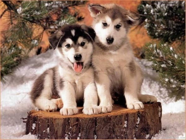 40 Siberian Husky Puppy Pictures to give Watery Eyes 39