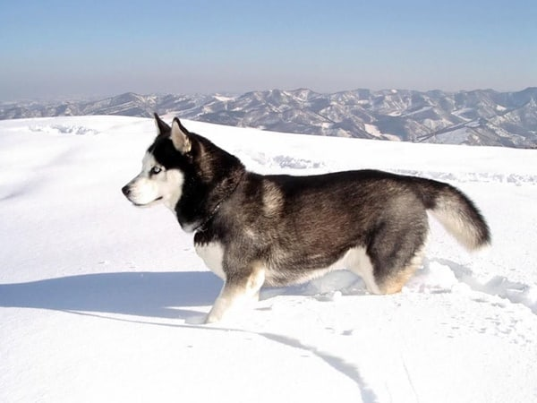 40 Siberian Husky Puppy Pictures to give Watery Eyes 40