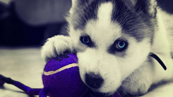 40 Siberian Husky Puppy Pictures to give Watery Eyes 9