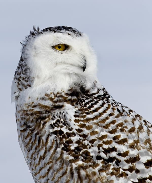 40 Snowy Owl Pictures for the House of Gandalf 11