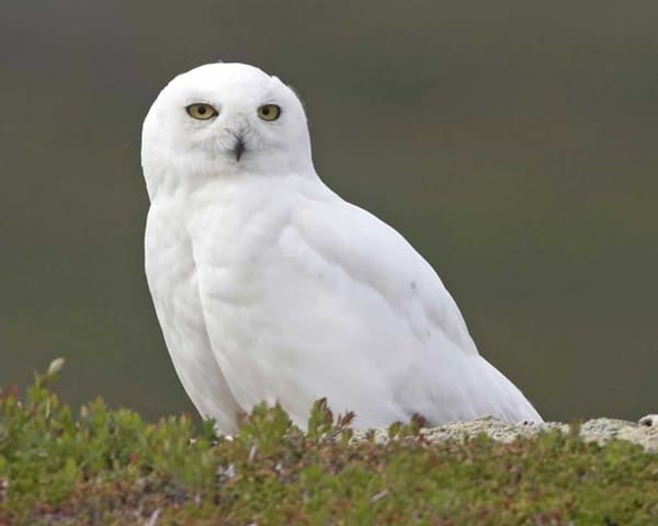 40 Snowy Owl Pictures for the House of Gandalf 17
