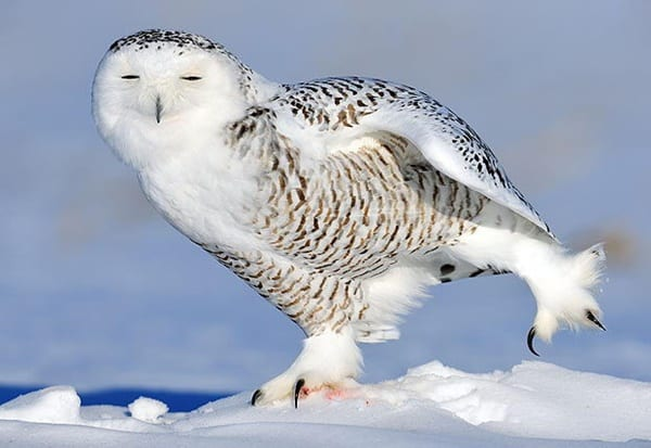 40 Snowy Owl Pictures for the House of Gandalf 18