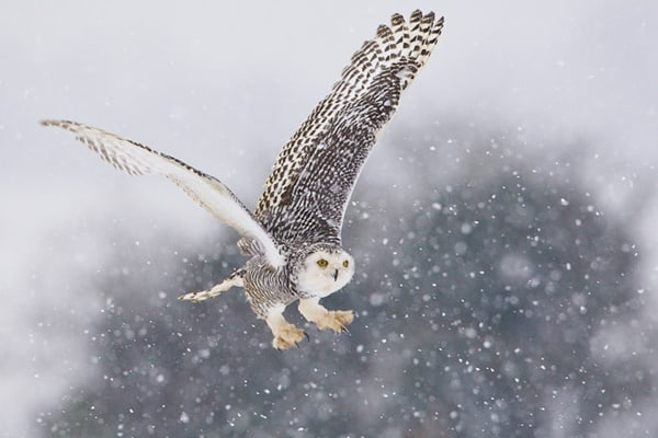 40 Snowy Owl Pictures for the House of Gandalf 19