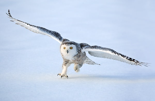 40 Snowy Owl Pictures for the House of Gandalf 20