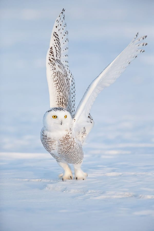 40 Snowy Owl Pictures for the House of Gandalf 21