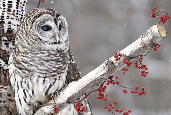40 Snowy Owl Pictures for the House of Gandalf 24
