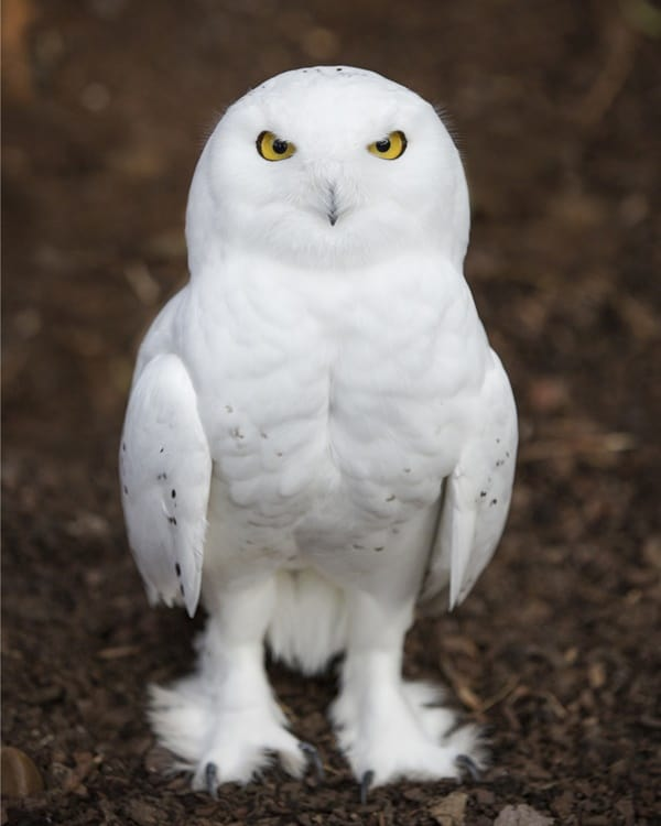 40 Snowy Owl Pictures for the House of Gandalf 25