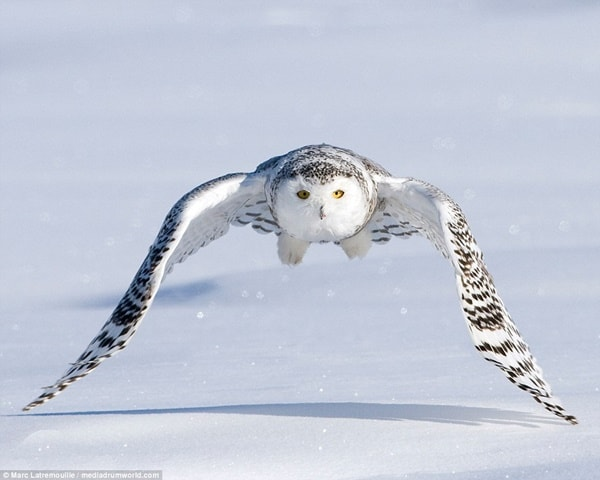 40 Snowy Owl Pictures for the House of Gandalf 26