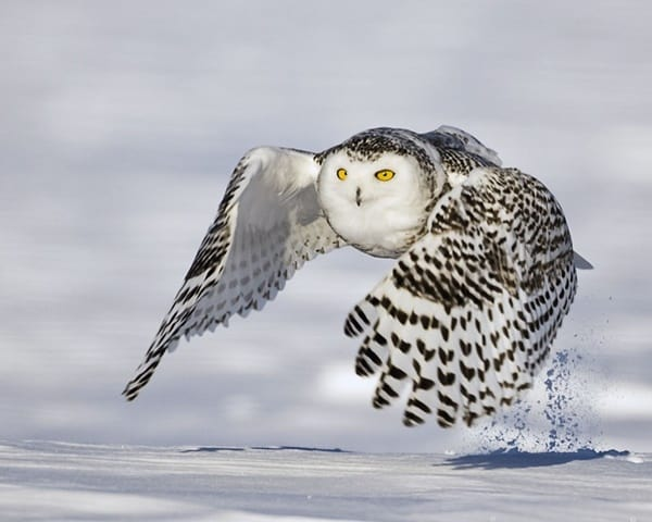 40 Snowy Owl Pictures for the House of Gandalf 28