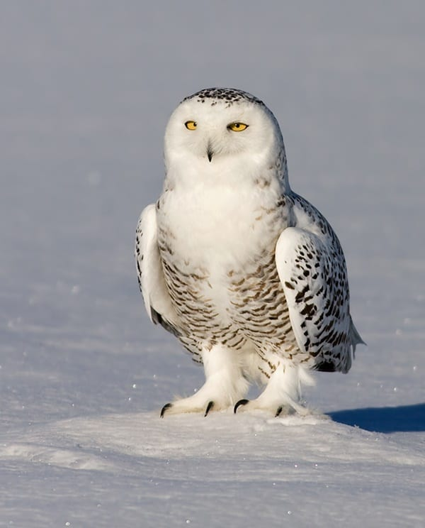 40 Snowy Owl Pictures for the House of Gandalf 3