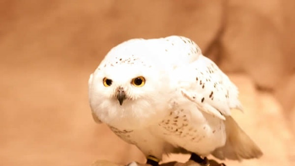 40 Snowy Owl Pictures for the House of Gandalf 30