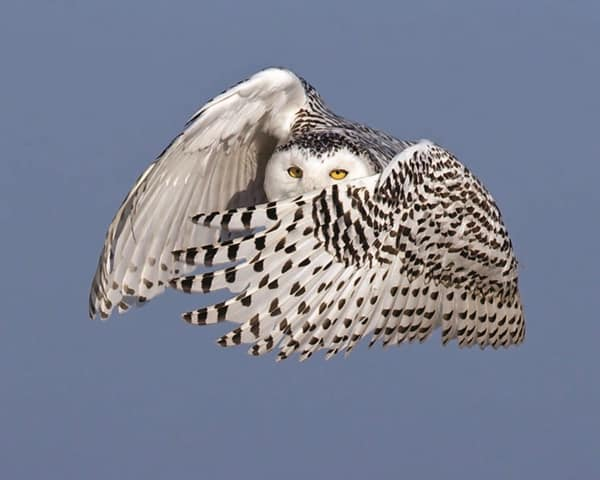 40 Snowy Owl Pictures for the House of Gandalf 31